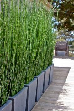 Horsetail grass in modern planters..Fabulous idea for a privacy screen.. a… Riesen-Schachtelhalm Equisetum Telmateia