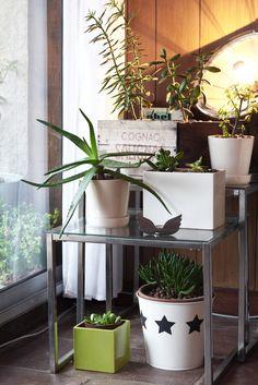 home succulent plant