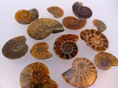 10 BEAUTIFUL Ammonite Fossils - so cool! i have always found these neat
