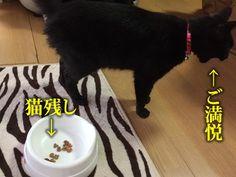 """""""今日のあるある!  猫っていつでもご飯は猫残し。  ご飯を少なくしても多くしても、いつも大体少しだけ残しますよね・・・_。  #猫 #ネコ #ねこ #猫好きさんと繋がりたい #cat #猫残し"""""""
