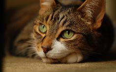 brown-cat-green-eyes-wallpaper-15729