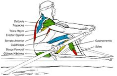 Grupos Musculares que se utilizan en el Remo: el pase