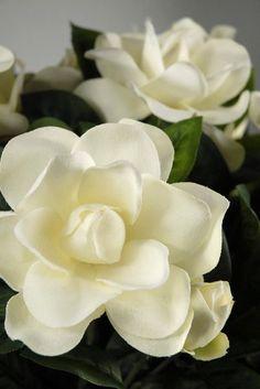 Gardenias, Intensely fragrant white blossoms