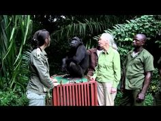 The Afternoon video - Jane Goodall is thanked from the heart by a chimpanzee