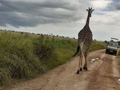 Serengeti National Park roads can get very busy with animals so you need to know how to drive carefully without scaring or hitting animals