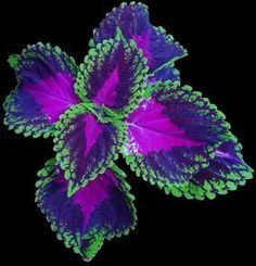 coleus...my this years favorite... going to have tons of it next year.. super hearty can take just bout anything plant... love the colors..!