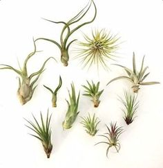 This pack will include 10 easy-to-care-for Tillandsia air plants.Tillandsia air plants are low maintenance and high reward. Give them light and an occasional water spray and they will turn beautiful s
