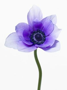 These Photos by Paul Lange capture the beauty of flowers as they burst into full bloom. Macro Flower, Anemone Flower, Flower Art, Exotic Flowers, Purple Flowers, Beautiful Flowers, Blooming Flowers, Dried Flowers, Botanical Illustration