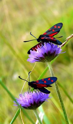Amazing Photography Collection: 08/20/13 ~ SIX-SPOT BURNET MOTH ~