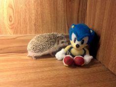 すべての最悪、あなたはあの有名なジャークソニックの影に常にいます。 | 25 Hedgehogs Trying To Escape Their Identity