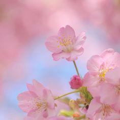 beauty sakura