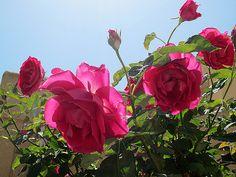 Maale Adumim, Israel - Gardens, Avne Ha'Choshen neighborhood (אבני החושן), roses (ורד)