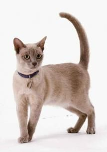 Champagne colored Burmese cat. BURMESE ~ These cats thrive on attention and quickly get it with their charming demeanor. Burmese cats are happy to accept attention from any person or pet willing to dish it out.