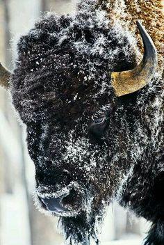Love the mighty Buffalo 💜 Buffalo Animal, Buffalo Art, Large Animals, Animals And Pets, Cute Animals, Animal Bufalo, Wildlife Photography, Animal Photography, Beautiful Creatures