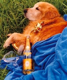 """Like Greta Garbo the camera had a love affair with my dog, True"" - Bruce Weber  ""A Letter to True"", Man of the World, Issue 7.   Palomino celebrating after the premier of ""A Letter to True"" at Toronto Film Festival. He continued the celebration for a whole year 2004.  #manoftheworld #champagne #dog #goldenretriever #ALettertoTrue #menmagazine #puppies #dogs #lifeinpicture #CristalChampagne #Cristal #celebration #TorontoFilmFestival #BruceWeber #celebrations #GretaGarbo #bestfriend"
