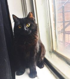 #Montreal cat rescue ~ Feb 23, 2017 ♥ AVAILABLE FOR ADOPTION is sweet DELILAH here ~ 7 months old female kittie rescued in Quebec. In foster now and available for adoption <3 If you would like to adopt Delilah please email  montrealcause4paws@gmail.com + Visit www.facebook.com/cause4paws for details and help spread the news!