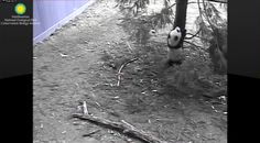 https://flic.kr/p/Ec1g1h   HIigh Climber 2016-02-17   Attribution: Smithsonian's National Zoo  This morning Bei Bei joins Mei in the yard. He visits his favorite tree for his first climb of about 25 minutes, and his last, which takes about 33 minutes. On his first ascent he plays on lower branches that Mei can reach when she stands on her hind legs (see www.flickr.com/photos/136116599@N03/25092733445/in/pool-p...). He dismounts by hanging from his paws and then dropping to his feet. This…