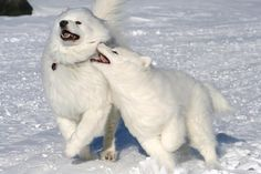 Samoyed run