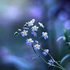 Forget-me-nots by JoakimK.net, via Flickr