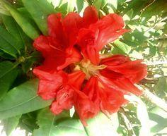Dazzler, a true red-orange Rhododendron. Photo by Jan R. True Red, Orange, Plants, Flora, Plant, Planting