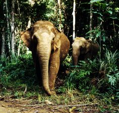 © Gerald S.Cubitt/ WWF-Canon  Adopt an elephant! The magnificent Asian elephant is threatened by extinction in the wild. As human populations grow, its habitat is shrinking fast. Help us halt the devastation.