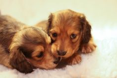 Dachshund babies!! Looks just like my babies when they were that young!!