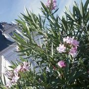 How to Propagate Oleander From Cuttings | eHow
