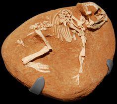 Amnh_protoceratops_hatchling1.JPG (1215×1081) - American Museum of Natural History, New York. Dinosauria, Ornithischia, Neornithischia, Ceratopsia, Protoceratopsidae. 2013.
