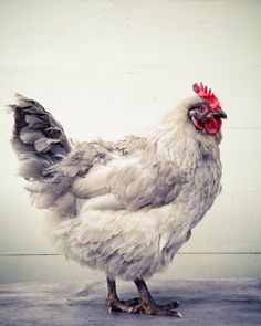Gray Chicken- Fine Art photograph - Jane Heller, via Etsy.