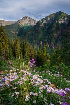 Flowers Roadside ~ San Juan Mountains, Colorado