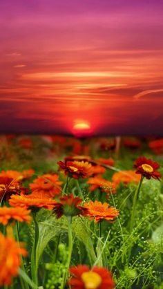 Sun setting over fields of Gerber Daisies.