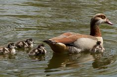 Great to see 4 Egyptian Goose goslings at Shoebury Park today (7 May 2016)