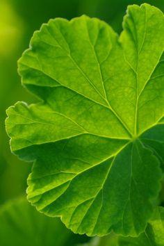 chasingrainbowsforever:Geranium Leaf ♥