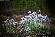 Hämeen kylmänkukka 1 - hämeenkylmänkukka hämeen kylmänkukka Anemone Pulsatilla patens x vernalis harvinainen kukka kukat kylmänkukat kylmänkukkia rauhoitettu risteymä karvapeite karvainen karvapeitteinen sininen nuppu nuput nuppuja toukokuu karike