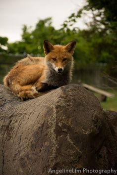 Fox relaxing on the rock