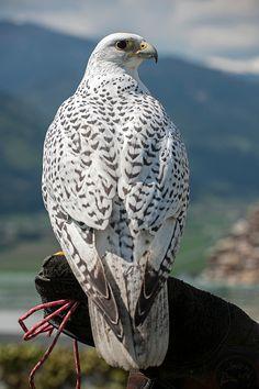 Gyrfalcon (Falco rusticolus), captive, Carinthia, Austria, Europe