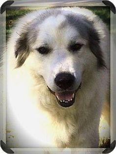 11/26/16 Spring, TX - Great Pyrenees. Meet Chelsea, a dog for adoption. http://www.adoptapet.com/pet/17097847-spring-texas-great-pyrenees
