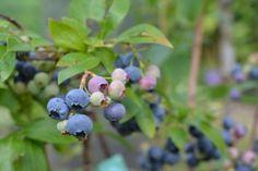 Blueberry (Vaccinium myrtillus) Health Benefits | Brett Elliott's Ultimate Herbal Detox