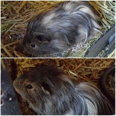 One of my clients has this little fellow for sale :) He comes well handled wormed and with a bag of transitional food.  #guineapigs #suzspetservices