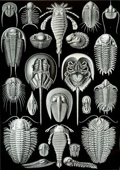 Ernst Haeckel collection of fossil arthropod drawings ... includes a few trilobites.