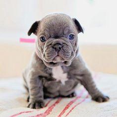 Good morning and have a nice week! Vanilla Flower french bulldog team www.frenchbulldogbreed.net