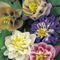 Graines d'Aquilegia Sweet Rainbows - Ancolie des jardins hybride en mélange
