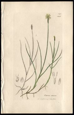 1854 James Sowerby English Botanical Lithograph Hand Colored Creeping Carex on eBay!