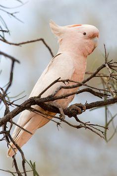 My Favorite Bird! Exotic Birds, Colorful Birds, Pretty Birds, Beautiful Birds, Amazon Birds, Pink Cockatoo, Australian Parrots, Animal Posters, Owl Bird