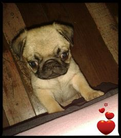#Pug #LoveTheMom