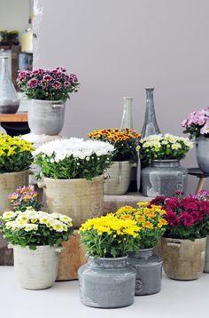 A colourful arrangement of potted Chrysanthemum plants