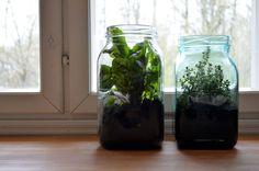 Yrttejä kasvamassa ikkunalaudalla Karhulan lasitehtaan valmistamissa keittiötölkeissä.
