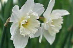 fotos flores de narcisos - Bing images