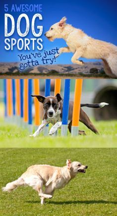 Step aside humans; it's time for doggy Olympics! Agility, freestyle, discus, and nose work are just some of the sports featured. Get man's best friend ready for some dog sports that will increase bonding between the two of you, give Fido some exercise, and give you hours of fun and entertainment. eBay has the activities that can get your favorite four-legged creature in shape and ready to perform.