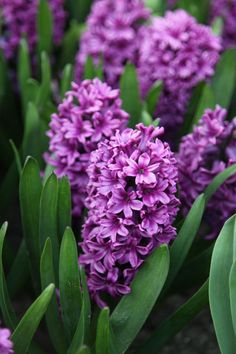 Hyacinth 'Miss Saigon' - Miss Saigon has rich violet purple blooms.  Ideal for pots and containers or garden beds.  Highly perfumed, they make an ideal cut flower.   Preferring a full sun to part shade position, in well drained soil.  Mid spring flowering.   Grows 20-25cm high x 15cm wide.